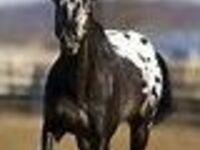 Appalossa Horse Show