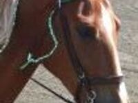 SC Walking Horse Championship