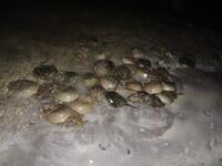 New Moon for Horseshoe Crabs