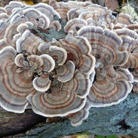 Medicinal Forest Mushrooms