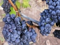 Fullerton Wine Course: Vine to Wine with special guest Michael Lichtenwalter