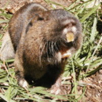 Gopher Control In The Home Garden And Small Farm