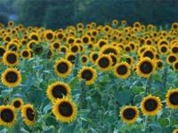Celebrate Sunflowers with Sunflower Chardonnay