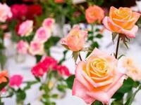 All Miniature Rose Show