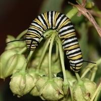"""""""Butterflies go Native"""" - Native Host Plants for Butterflies"""