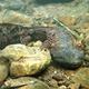 The Eastern Hellbender Salamander- Sentinel of Clean Streams!