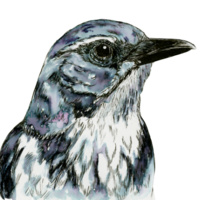 Natural History Ink Journaling Workshop on the California Scrub Jay