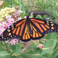 Hasta Luego Monarchs!