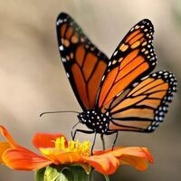 Homeschool Day: Monarch Butterflies