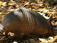 Pest Management Workshop: Armadillos and Imported Fire Ants