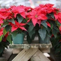 Gifts From the Garden: Holiday Plants