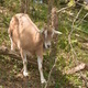 Goats in the Glen