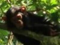 """Public Lecture: """"Understanding the Veterinarian's Role in Wild and Captive Chimpanzee (Pan troglodytes schweinfurthii) Conservation in Uganda"""""""
