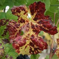 Vineyard Red Blotch Disease Workshop