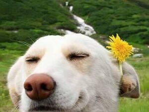 The image is a photograph of a white labrador, closing its eyes and smiling. A dandelion is tucked behind the dog's ear. The background is a field, then behind that, grassy hills with a stream running through.