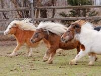 Mini Horse Herding and Other Farm Fun