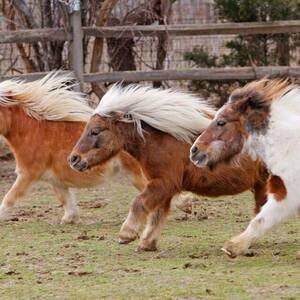 Mini Horse Herding and Other Farm Fun