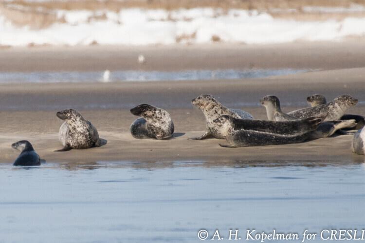 CRESLI Seal Walks at Cupsogue Beach