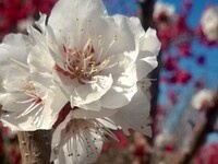 Apricot, Plum and Pluot Tree Pruning Class FREE