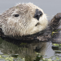 HMSC Science on Tap- So much more than a pretty face: the many different ecological impacts of recovering sea otters.