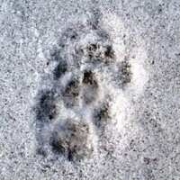 Winter Animal Tracks and Casting