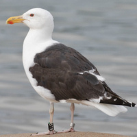 """Trash Birds"": How and Why Gulls Thrive (or Die)"
