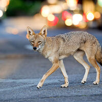 Coyotes in Your Back Yard: Understanding the Ecology of an Urbanized Predator