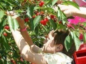 Varick WInery's 14th Annual Cherry Festival