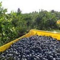 Blueberry Field Day