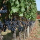 From the Bud to Bin: Vineyard Management Effects on Yield