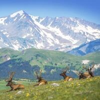 Elk Bugle Viewing at Rocky Mountain National Park