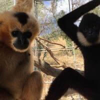 Gibbon-Fest