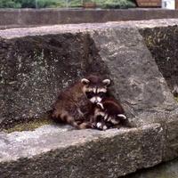 Little Raccoons: Children's Walk