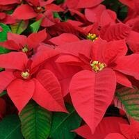 Botanical Society Poinsettia Sale