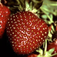Strawberry Field Day
