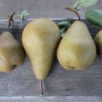 Pear Pruning Tour