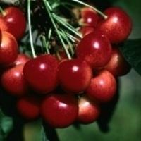 Cherry Day