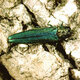 GICES: Emerald Ash Borer: Current status and identification