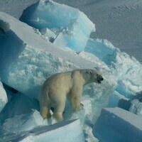 Science Sunday: Polar Bears and Climate Change, Living on Sea Ice in a Warming World