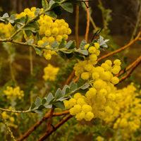 Amazing Acacias
