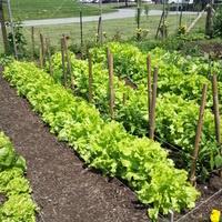 Beginner Vegetable  Gardening