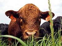 Clemson Bull & Heifer Sale