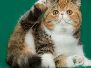 CFA Cat Show - Travel Portland