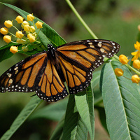 Monarch's and Milkweed