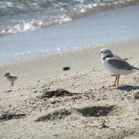 Volunteer Shorebird Fencing