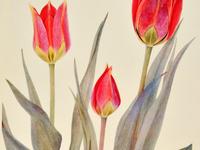 Unturned Leaves: Early Women in Botanical Illustration