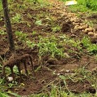 Potato Planting Project