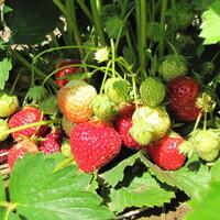 Strawberry Field Day