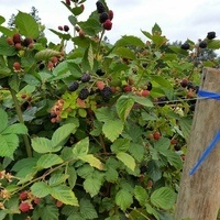 Caneberry Field Day