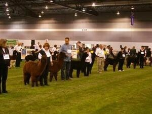 CABA Classic Alpaca Halter & Fleece Show